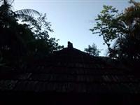 Palmeira de Açaí
