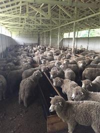 Vendo ovinos, borregos e cordeiros