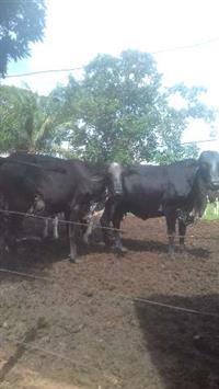 Vacas leiteiras em goias