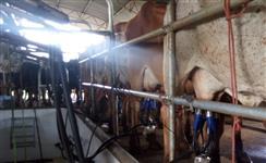 Vacas e novilhas GIR Leiteiro