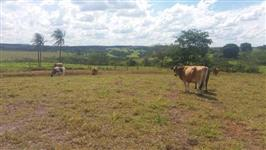 Vacas Jersey - Vendo ou troco