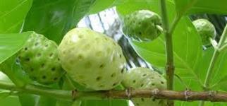 NONI o fruto milagroso
