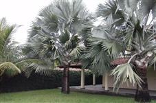 Sementes de palmeira Bismarckia Nobilis (Palmeira Azul)