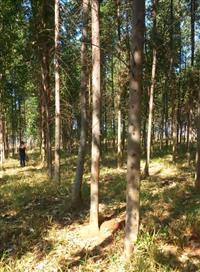 Vendo eucaliptos