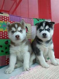 Filhotes de cachorro do Pug