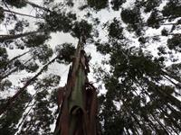 Vende-se 5.000 pés de eucalipto com 9 anos, a 2 km de Canguçu RS