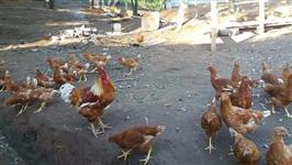 Venda de frangas e galinhas caipiras poedeiras 60 a 100 dias