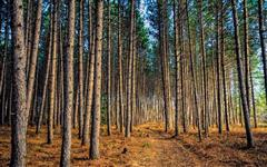 Vendo Pinus DAP 30cm 17 anos 3 km da BR 470 Lagoa Vermelha RS Negocio valor