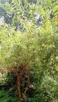 Verbena capim limão