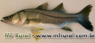 Vendo várias espécies de peixe (Filé, postas e inteiro) tudo com SIF