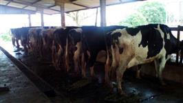 Vendas de vacas da raça Holandesa