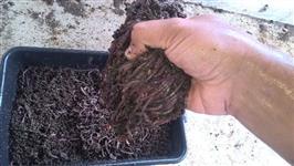 Minhoca Gigante Africana (pesca e compostagem)