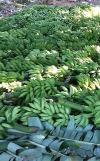 Bananas Climatizadas de Miroros