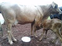 Vendo 03 Vacas Leiteiras
