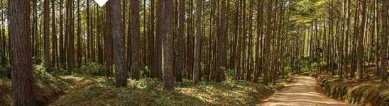 103 Hectares com 60 mil pés de Pinus com 16 a 19 anos de plantio