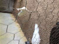 Vende-se casal de pavão branco