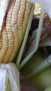 Vendo milho para silagem