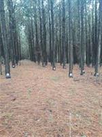 Áreas de pinus Eliotis para extração de resina