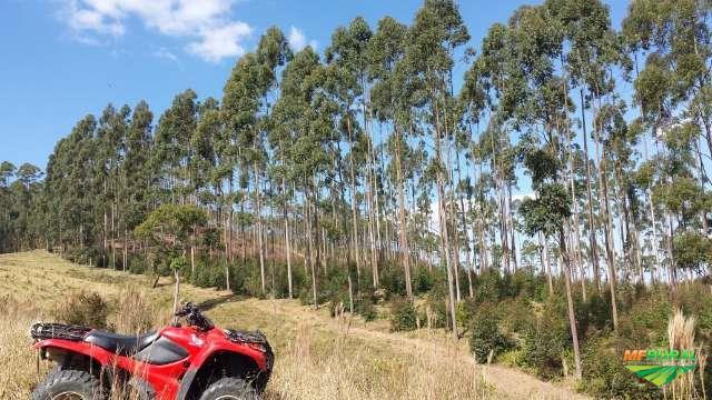 Fazenda com 100 mil pés de eucalipto
