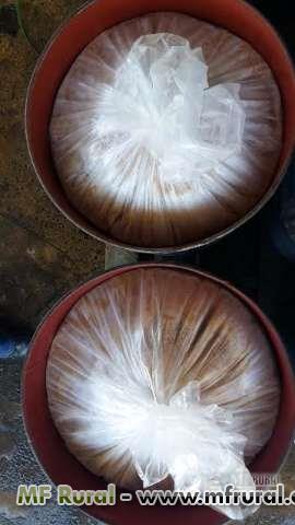 polpa de manga enzimada