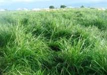 massai semente espetacular com 90 por cento de germinaçao e 25 pontos aproveite