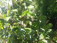 Irrigacao gotejamento 30 a 40 ha. Compro seminovo