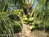 Fazenda espetacular em Canavieiras - BA com 717 hectares, produzindo coco da Bahia.