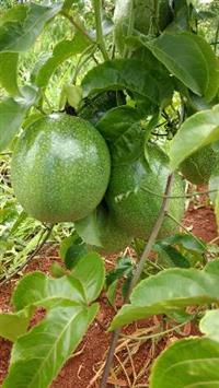 Venda de maracujá fruta