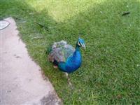 Pavão Azul - Filhotes