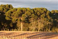 Vendo Toras de Pinheiro Araucária e Pinus em Pé