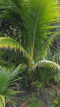 Muda de Coqueiro Anão Verde