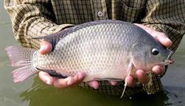 Tilápias vivas para abate ou pesqueiro