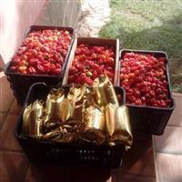 Pimentas Habanero BH