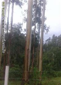 Vende-se cavacos e exportamos madeira de eucaliptos.