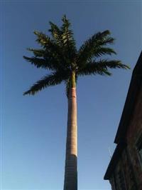 Palmeira 15 m aproximadamente