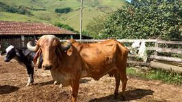 Vacas Gir PO Registradas