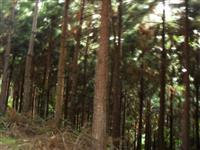 Eucalipto e pinos