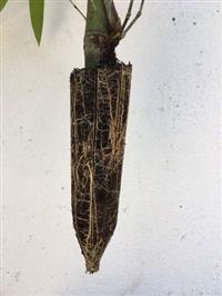 Mudas de Bambu em Tubetes