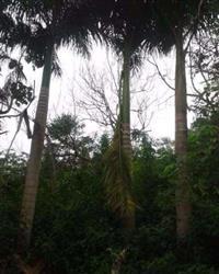 Palmeira Imperial Adulta