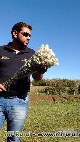 Flores áster branco para decoração