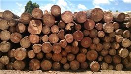 Toras de pinus para exportação