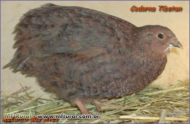 Ovos galaldos de codornas varias raças