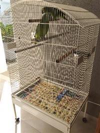 Vendo casal de Papagaio verdadeiro legalixado IBAMA