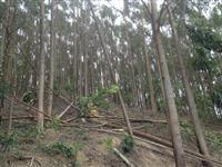 Lenha de eucalipto