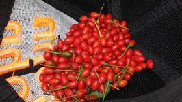 Pimentas malagueta; comari;bode