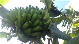 Banana da Prata ba