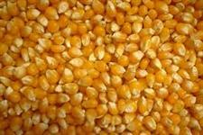 Compro milho no Mato Grosso