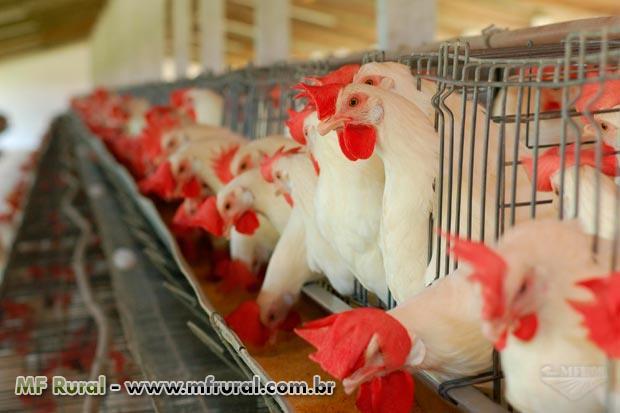 Tenho Loi preciso de Franco e patas de frango para exportação