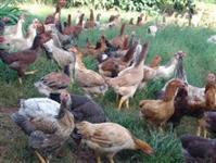 Compro galinhas novas