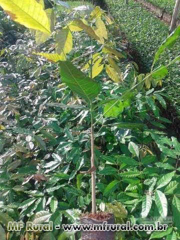 Mudas de Mogno Africano ( senegalensis e yvorensis)